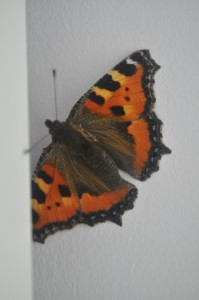 Day 128:  Rescuing this gorgeous butterfly after it flew into my lounge through an open window and couldn't find it's way out