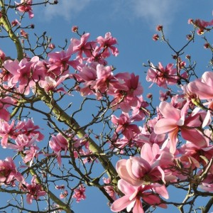 Day 392:  This spectacular pink magnolia tree in full bloom in the sunshine in Regents Park in London