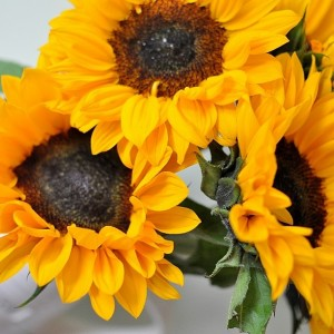 Day 485:  Happy, smiley sunflowers :)